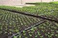 Seeding in nursery farm Stock Image