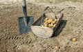 Seeding spate and basket with potatoes Stock Image