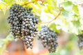 Seedless grape grapes hanging on the tree Stock Photo