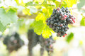 Seedless grape grapes hanging on the tree Stock Images