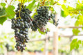 Seedless grape hanging on the tree Royalty Free Stock Photo