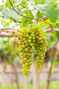 Seedless grapes ripen on the tree stock photo Royalty Free Stock Image