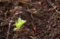 Seedling is coming out in early spring new Stock Photography