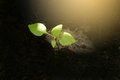 Seedling green plant growing in the soil with sunlight spot. Royalty Free Stock Photo