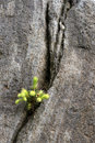 Seedling growing on a rock Royalty Free Stock Photography