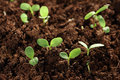 Seedling plants in soil Royalty Free Stock Photo