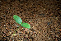 A seedling on soil Royalty Free Stock Images