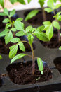 Seedling tomato pot in greenhouse Stock Photos