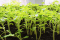 Seedling tomato in tray Royalty Free Stock Photo
