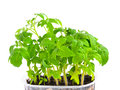 Seedling of young tomato plant in capacity with land is isolated Royalty Free Stock Photo