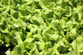 Seedlings of green lettuce closeup Royalty Free Stock Photography