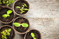 Seedlings growing in peat moss pots potted biodegradable on wooden background with copy space Stock Image