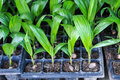 Seedlings of oil palm for agriculture in tropical areas thailand Stock Photos