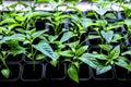 Seedlings of pepper plant vegetable Royalty Free Stock Photo