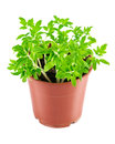 Seedlings tomato in pot Royalty Free Stock Photo