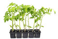 Seedlings Tomatoes Plant Vegetable isolated on a White Backgroun Royalty Free Stock Photo