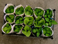Seedlings transportation some rolled up with old newspaper pages for in plastic box top view Stock Image