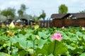seedpod of the lotus and  Lotus Royalty Free Stock Photo