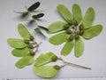 Seedpods Of The Tipu Tree