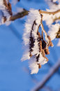 Seeds of alder with ice close up frozen cone in the winter Stock Photography