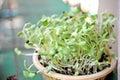 Seeds germinate Royalty Free Stock Photo