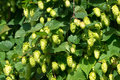 Seeds of hops the flowering Stock Image