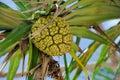 Seeds of sea pandanus or screw pine plant tree tectorius odoratissimus Royalty Free Stock Photography