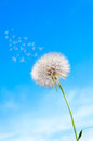 Seeds umbrellas fly dandelion background blue sky Stock Image