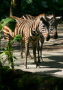 Seeing double? Seeing Clones? - Two zebras! Royalty Free Stock Photos
