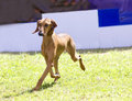 Segugio italiano a young beautiful fawn red brown smooth coated dog running on the grass being alert the italian hound dog has a Stock Photography
