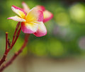 Select focus Frangipani Plumeria flowers border Design Royalty Free Stock Photo