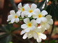 Select focus Frangipani Plumeria flowers border Design Royalty Free Stock Photo