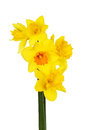 Selection different daffodil flowers isolated against white Royalty Free Stock Images