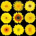Selection of Yellow Flowers Isolated on Black Stock Photography
