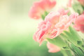 Selective focus of close up sweet pink carnation flowers Royalty Free Stock Photo