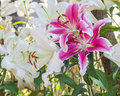 Selective focus of colorful lily flowers with sun light ,selecti Royalty Free Stock Photo