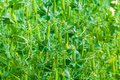 Selective focus on fresh bright green pea pods on a pea plants in a garden. Royalty Free Stock Photo