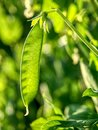 Fresh bright green pea pods on a pea plants in a garden. Royalty Free Stock Photo