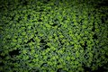 A green duckweed. Royalty Free Stock Photo