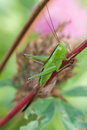 Selective focus image grasshopper Great Green Bush-Cricket. Tettigonia viridissima. insect macro view, shallow depth of Royalty Free Stock Photo