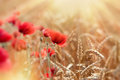 Selective focus on wheat, wheat field and red poppy flowers lit by sun rays Royalty Free Stock Photo