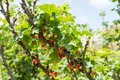 Self picking cherries at Odem in Golan Heights Royalty Free Stock Photo