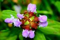 Selfheal flower closeup macro shot of a blossom top view Royalty Free Stock Photography