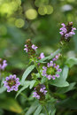 Selfheal wildflower heal all prunella vulgaris wild flower plant Stock Photography