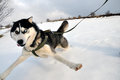 Selfie siberian husky dog perspective jump Stock Images
