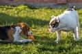 Selfish and greedy dog beagle english bulldog Royalty Free Stock Photos