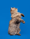 Selkirk rex cat Royalty Free Stock Images