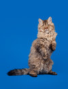 Selkirk rex cat Royalty Free Stock Photography