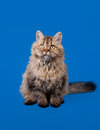 Selkirk rex cat on sky blue Royalty Free Stock Images