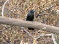 Smooth Billed Ani bird on the trunk of a fallen tree Royalty Free Stock Photo